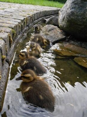 Five little duckies sitting in a row