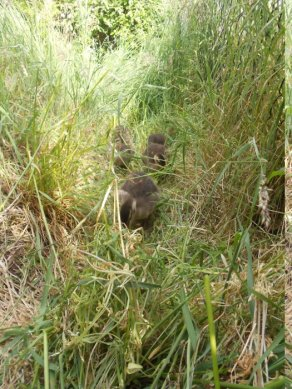 ducklings in tall grass