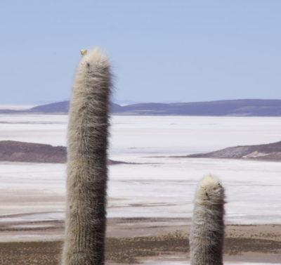 bosque de cactus colchane
