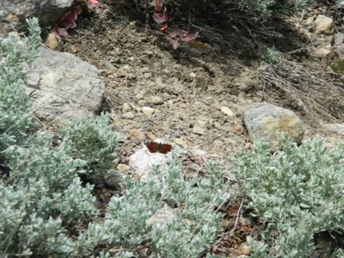 Rocky Mountain National Park_Bierstadt Lake trail_butterfly_2