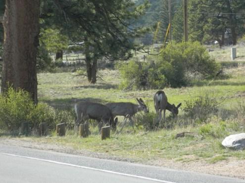 Rocky Mountain National Park_deer_1