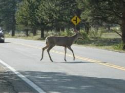 Rocky Mountain National Park_deer_15