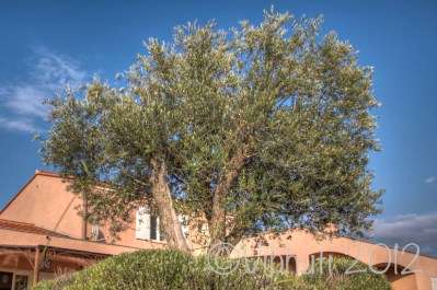 L'olivier de Papy