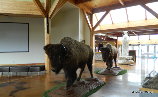 Wanuskewin Heritage Park buffalo