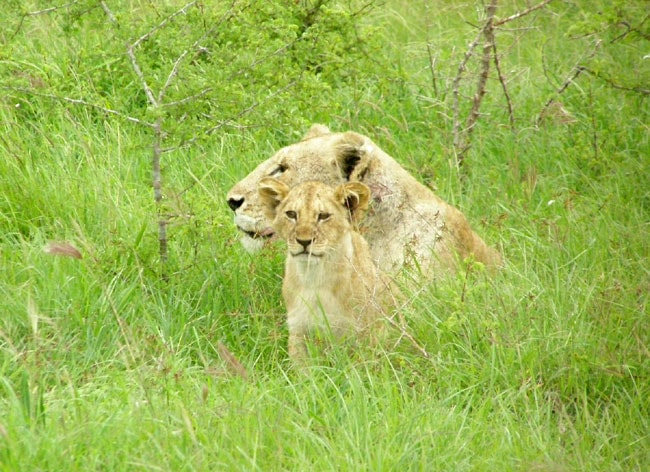 A lioness and her cub near the Sarova Salt Lick Game Lodge in Tsavo West National Park