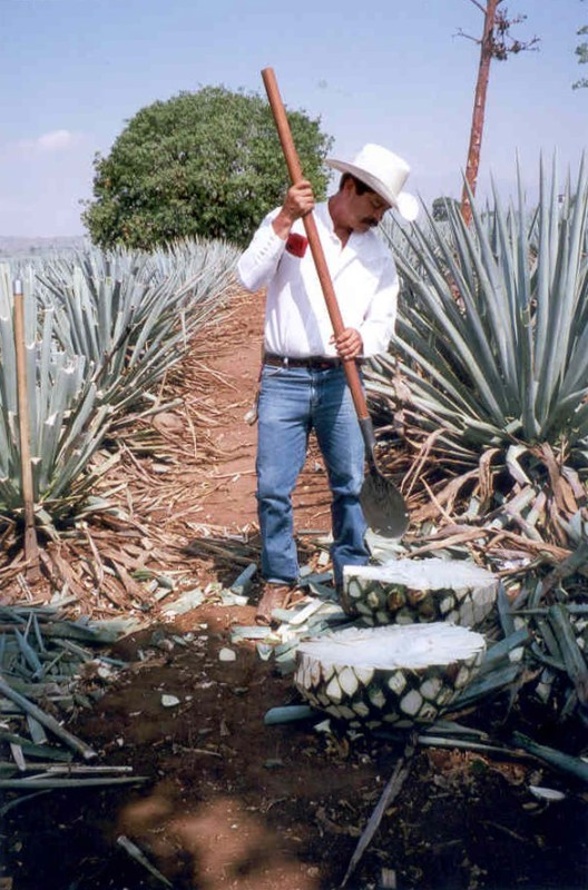 Cutting the agave pineapples in Tequila, Mexico