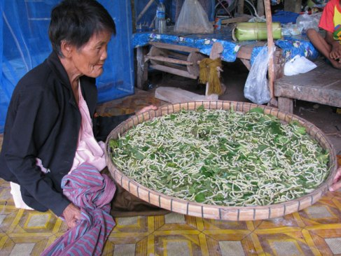 Silk Worms used to produce silk in Isan, Thailand.