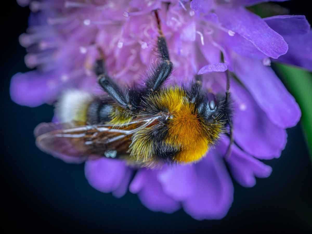 close up of bumblebee on purple flower