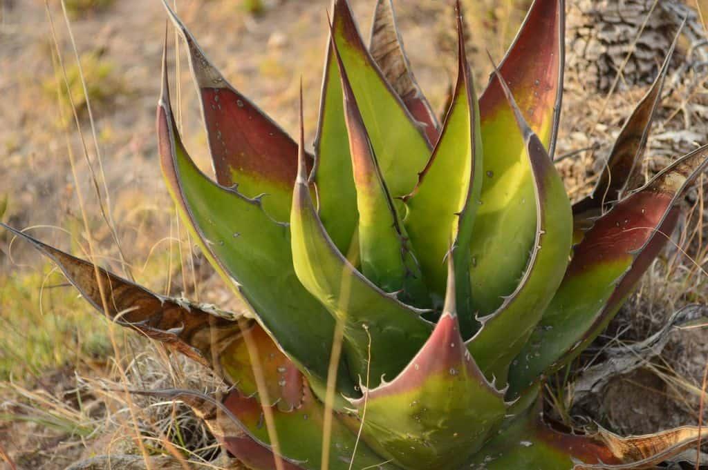 Aloes robi sie brązowy