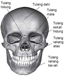 Rangka kepala (tengkorak) meliputi tulang-tulang tengkorak wajah dan tulang pelindung otak.