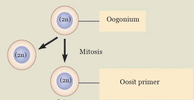 Materi Oogenesis, IPA SMP Kelas 7 BAB Sistem Reproduksi pada Manusia