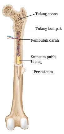 Gambar Struktur Tulang Manusia