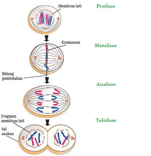 Pembelahan Mitosis