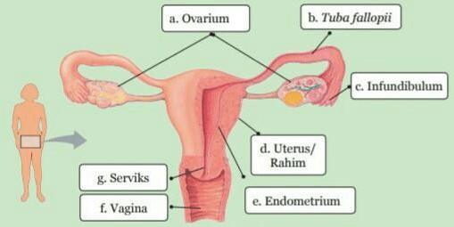gambar Struktur dan Fungsi Organ pada Sistem Reproduksi Perempuan