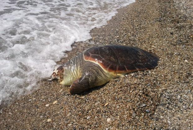 Νεκρή χελώνα καρέτα καρέτα στη Μεγάλη Βελανιδιά