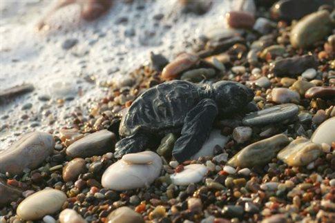 Νεκρή θαλάσσια χελώνα στην Ν