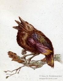 Tri-beaked Sparrow