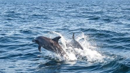 Delfiny w Zatoce Omańskiej