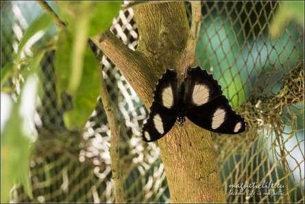 Zanzibar Butterfly Centre. Odpoczynek na konarze