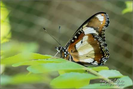 Zanzibar Butterfly Centre. Motyl naliściu