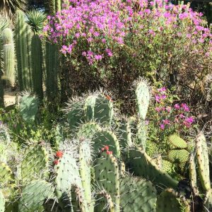 Flowering cacti
