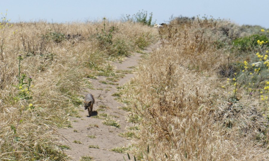 Island Fox on the trail