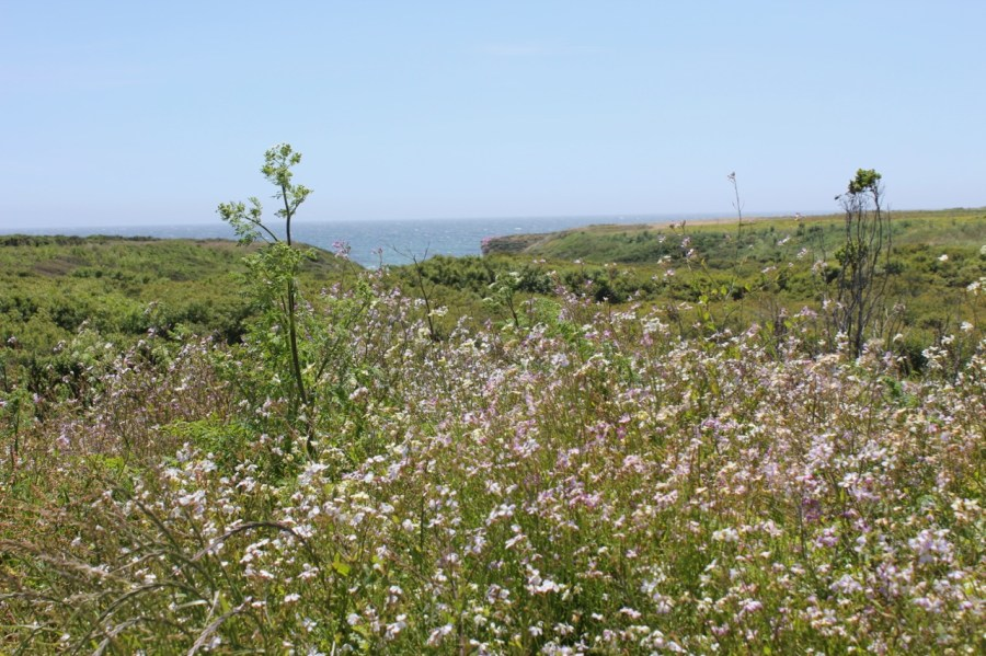 Wildflowers over the bluff at Wilder Ranch