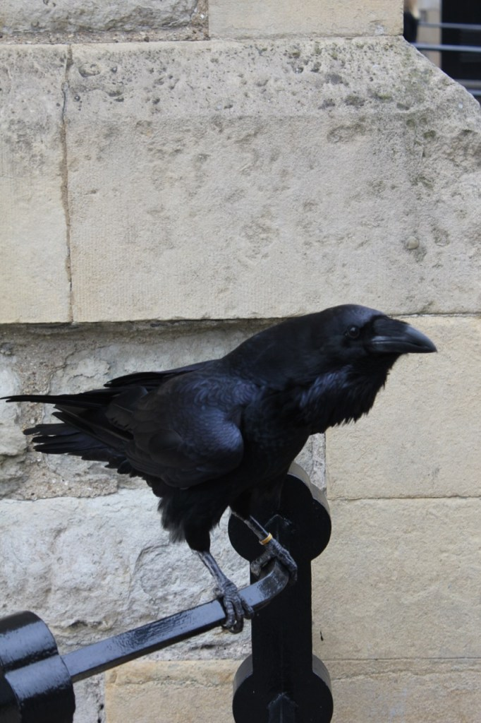 Raven at the Tower of London