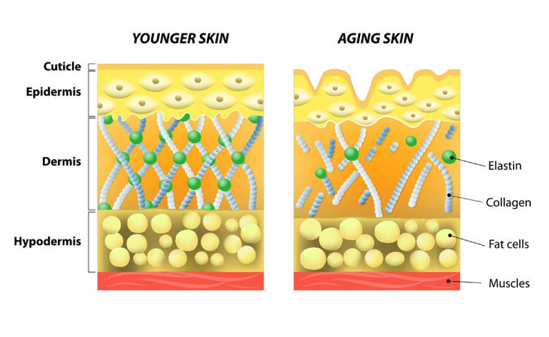 elastin and collagen in our skin reduces as we age