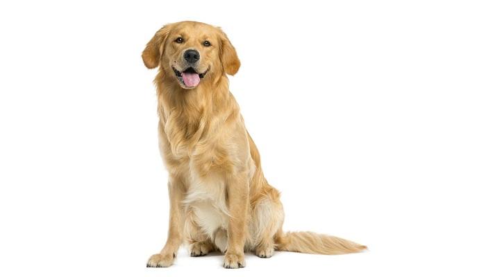 Perro de Tipo Americano