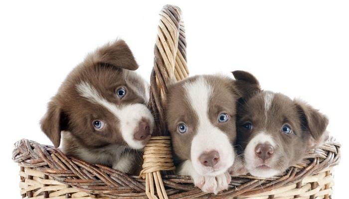 Perros domésticos