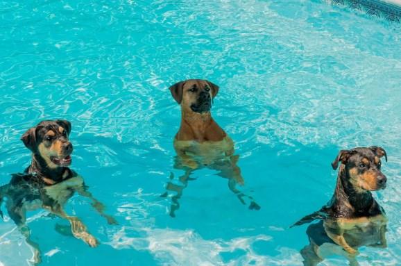 natación canina