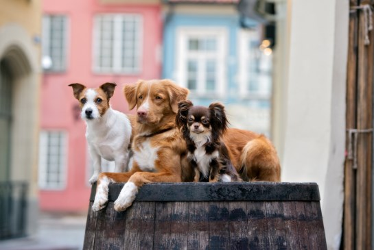 estatura promedio de los perros