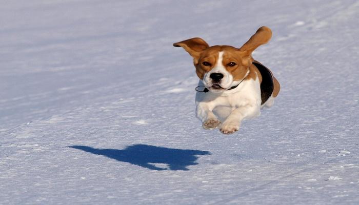 raza moderna de perros Beagle