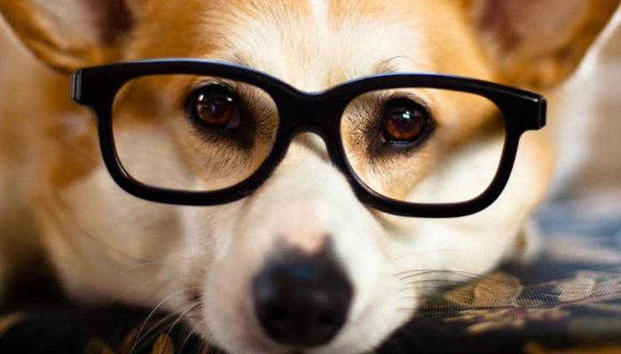 Razas de perros inteligentes