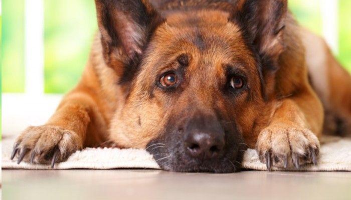 dachshund de próstata agrandados