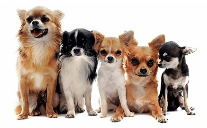 Clases de Chihuahuas
