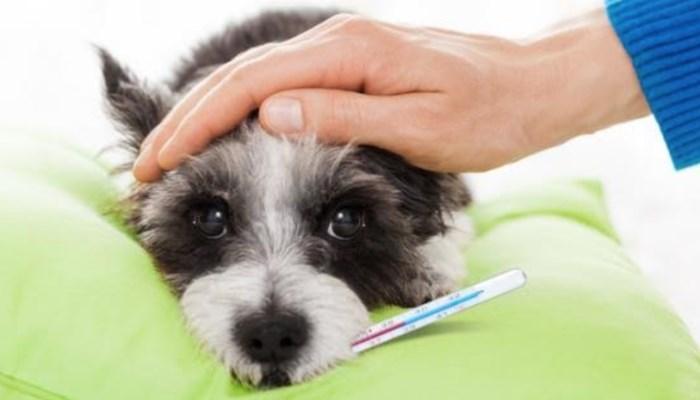 qué debes hacer cuando tu perro tiene fiebre