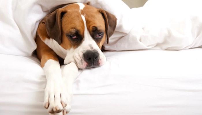 ¿Cómo medir la temperatura Cuándo un Perro tiene Fiebre?
