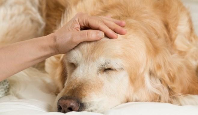 Perro adulto con convulsiones