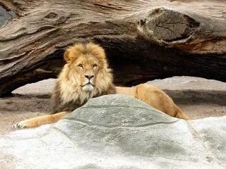 ライオンと遭遇