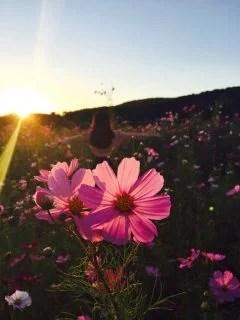 夕日とコスモス