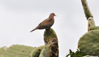 Laughing Dove / Tourterelle maillée (Spilopelia senegalensis), Tétouan, northern Morocco, 2 March 2013 (Rachid El Khamlichi).