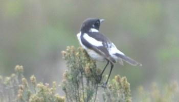 European Stonechats like this bird can look similar to Siberian Stonechat (Saxicola maurus).