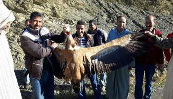 نسر أسمر قتله صيادون في شمال المغرب، نوفمبر 2016