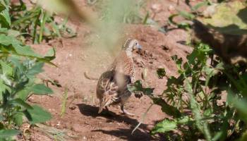 Andalusian Buttonquail / Turnix d'Andalousie (Turnix sylvaticus sylvaticus), Doukkala region, Morocco, June 2014 (Carlos Gutiérrez Expósito).