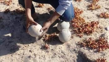 North African Ostrich eggs found near Bir Anzarane, Oued Dahab region, southern Morocco