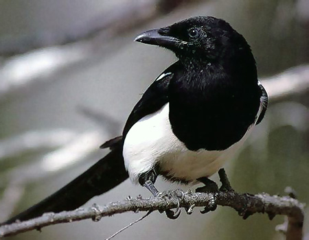 Magpies – courtesy Waveney Valley Blog