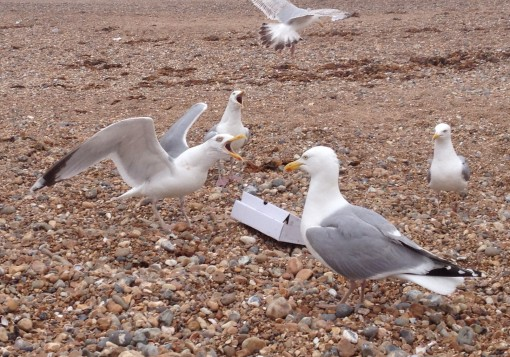 Seagull battle at Brighton Beach