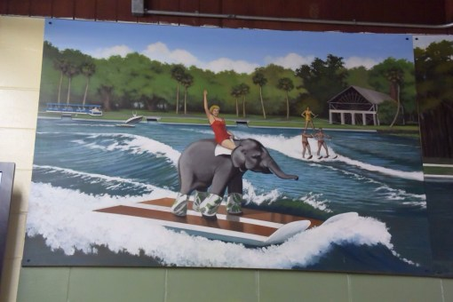 Water Skiing Elephant at De Leon Springs State Park in Florida